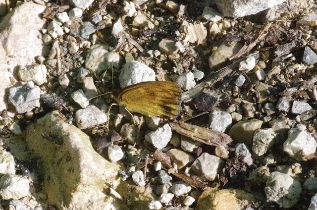 Pyronia tithonus (L., 1771), f. decolorata Fruhstorfer. Chemin de La Rodé (660 m), Cocurès (Lozère, France), 5 août 2014. Photo : J.-M. Gayman