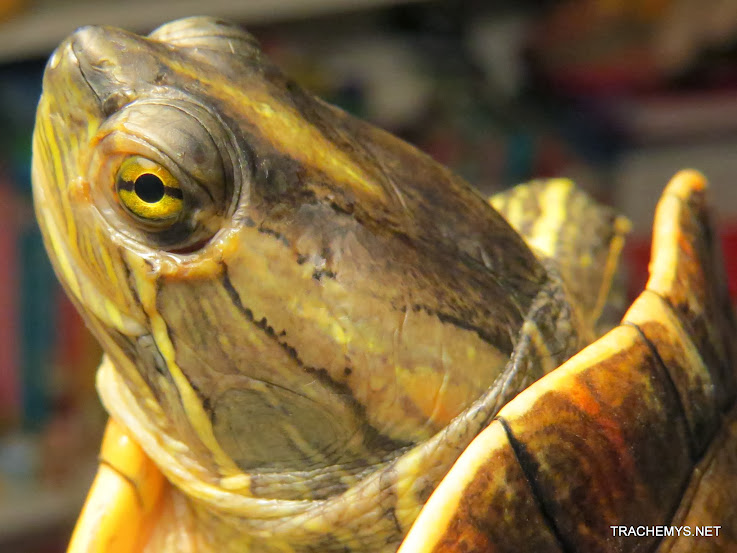mes tortues (BK) - Page 12 IMG_4487