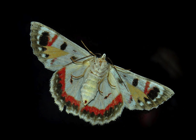 Geometridae : Geometrinae : Hypobapta tachyhalotaria HAUSMANN et al., 2009, verso. Umina Beach (N. S. W., Australie), 25 janvier 2012. Photo : Barbara Kedzierski