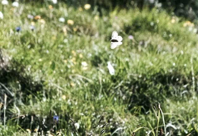 Parnassius (Parnassius) sacerdos STICHEL, 1906. Fex Curtins, 2100 m (Engadine, Grisons, CH), 12 juillet 2013. Photo : J.-M. Gayman