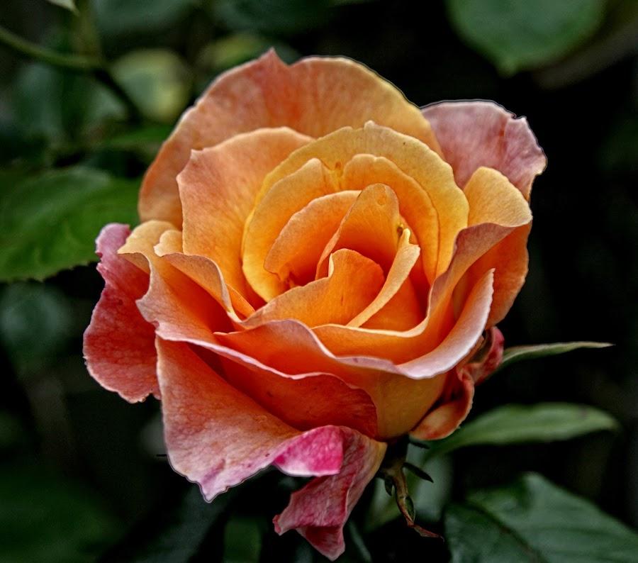 LG rose 05 by Michael Moore - Flowers Single Flower (  )