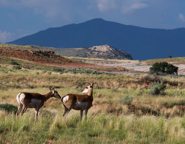 Antelope at Bears Ears National Park. Bears Ears is an important site for wildlife. Photo: Bureau of Land Management/ Flickr