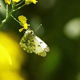 Anthocharis cardamines LINNAEUS, 1758, femelle. Hautes-Lisières (Rouvres, 28), 20 avril 2011. Photo : J.-M. Gayman