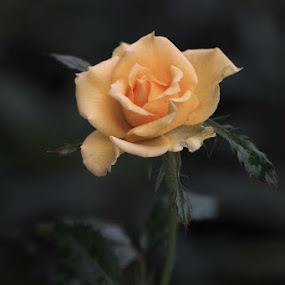 Rose by Ibe Lase - Nature Up Close Flowers - 2011-2013