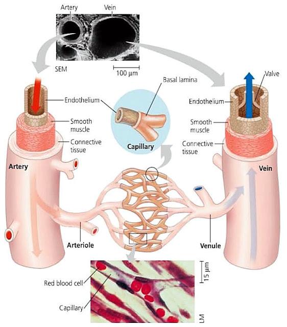 FastStoneEditor Sistem Transportasi (6) : Alat peredaran darah manusia