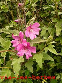 Lavatere d'hyeres, Lavaterum olbia 2.jpg