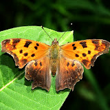 Eastern Comma (Polygonia comma) an anglewing butterfly (Terry Carpenter)