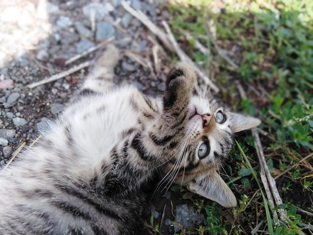 Felis-Cinsi-Kedi