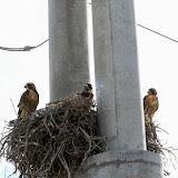 # filhotes de àguia (raro!) - Península Valdez, Argentina