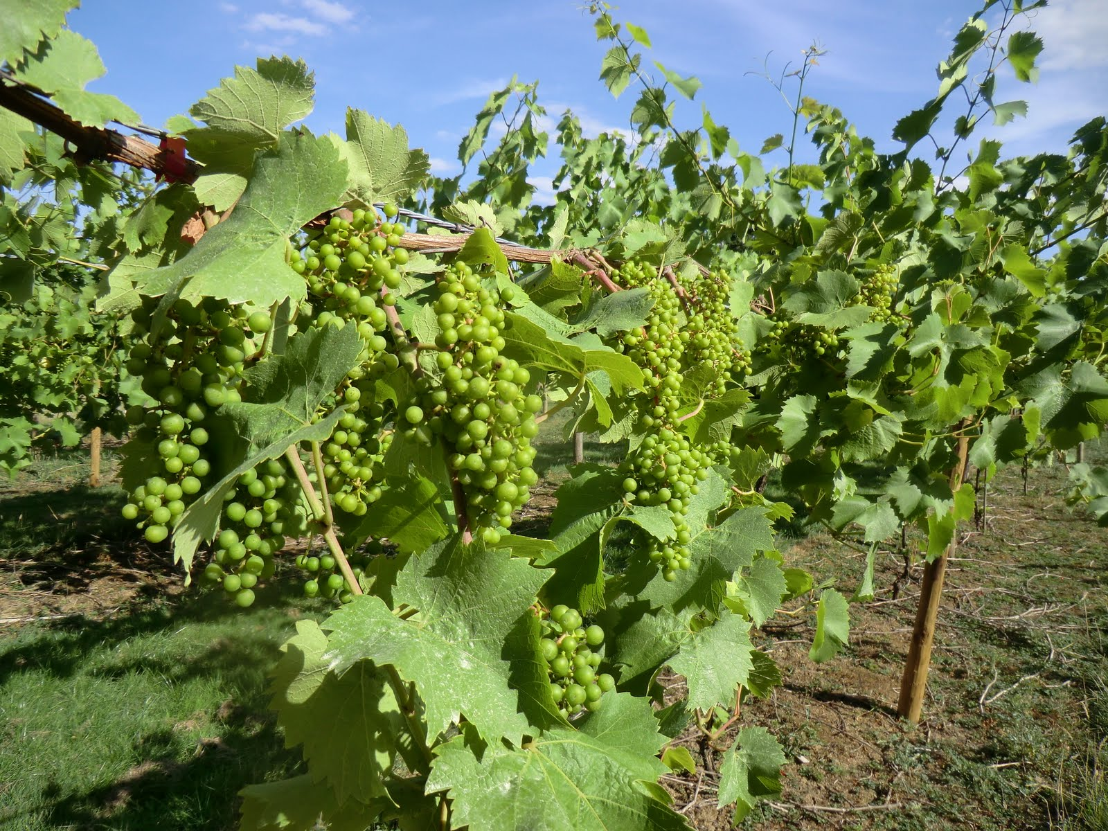CIMG8439 Harden Vineyard in August