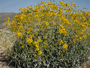 Brilliant Brittle Bush along the S2 highway