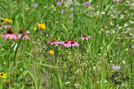 cr-wildflower-field-bgrn-ky