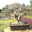 14 Ficus microcarpa.JPG