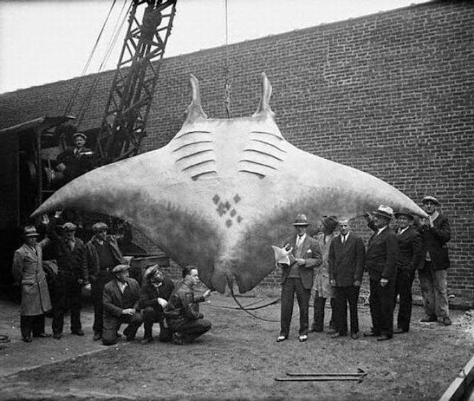 Capturada em 1933 perto de Nova Jersey, a raia da espécie Manta foi uma das maiores já registradas.