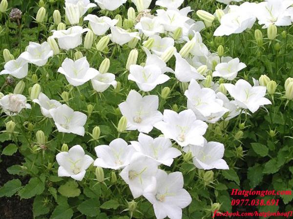 Hoa chuông sao trắng