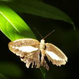 Dasyophthalma creusa HÜBNER, (1821), mâle. Caçandoca (Ubatuba, SP), 23 février 2011. Photo : J.-M. Gayman