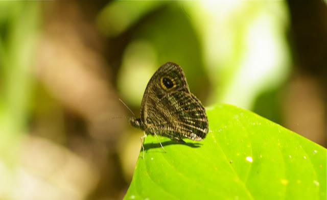 Ypthima fasciata fasciata HEWITSON, 1865. Sukau lot n°2 (Sabah, Malaisie), 6 août 2011. Photo : J.-M. Gayman