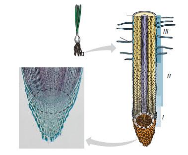 soğan bitkisine ait birincil büyümenin gerçekleştiği üç bölge