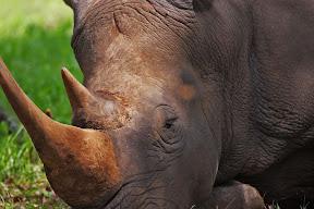 Rhino Male, Zambia