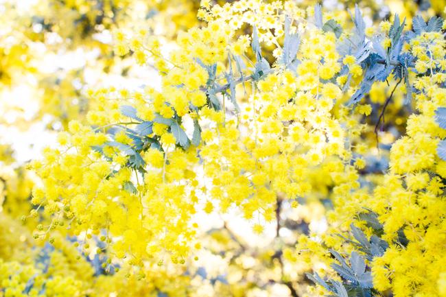Golden Wattle | Lavender & Twill