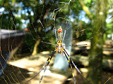 Sweet spider