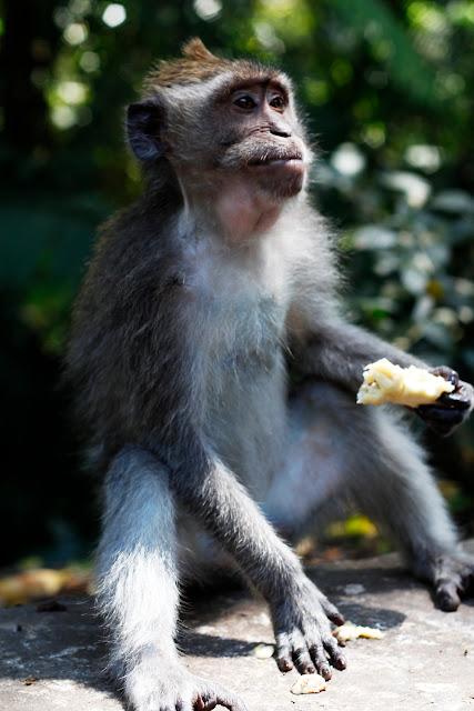 Un mono comiendo en el Monkey Forest