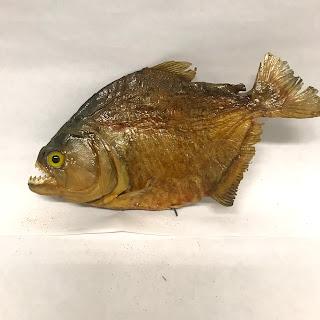 Piranha Taxidermy Specimen