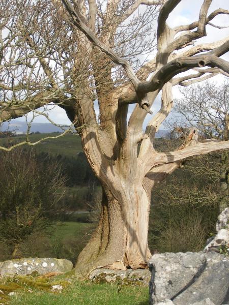 Magic Tree, Celtic And Druids