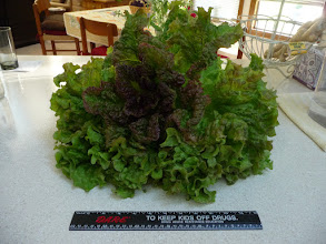 Photo: Aumkara's gigantic lettuce