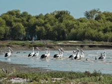 pelicansL.jpg