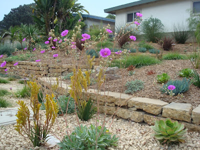 Calandrinia and Kangaroo Paws flowering nicely in late September