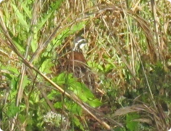 10 Northern Bobwhite Colinus virginianus