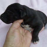 Dark chocolate female @ 1 week/available