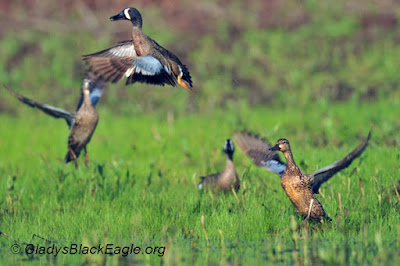 Neotropical Migrant: blue-winged teal