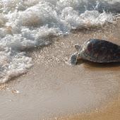 phuket event Mai Khao Marine Turtle Foundation launches Marine Turtle Nesting Site Conservation and Rehabilitation Project 020.jpg