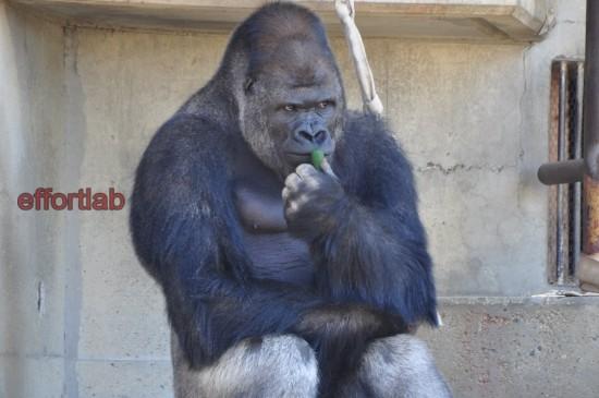 shabani-gorilla-jantan-kacak-jepun