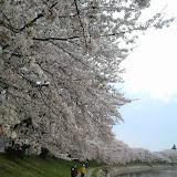 20090408_sakura