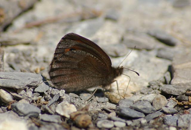 Erebia neoridas BOISDUVAL, 1828, verso, mâle. Vallon Claous, 1880 m (Mélezen, Alpes-de-Haute-Provence), 6 août 2009. Photo : J.-M. Gayman