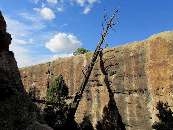 Dead ponderosa pine leaning on a cliff