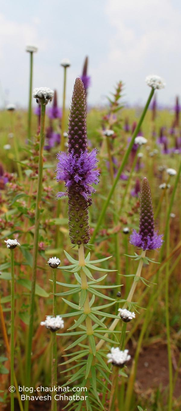 Spike of a purple-colored-flower plant in the Kas Plateau