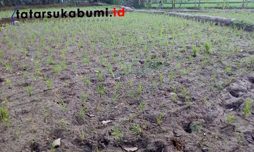 Puluhan Hektar Lahan Pertanian di Sukabumi Terancam Gagal Panen Akibat Kekeringan