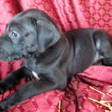 Available black male Great Dane puppy