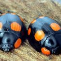 Six-spotted Leaf Beetle
