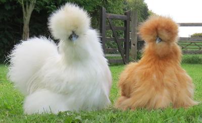 5 Rarest Chicken Breeds