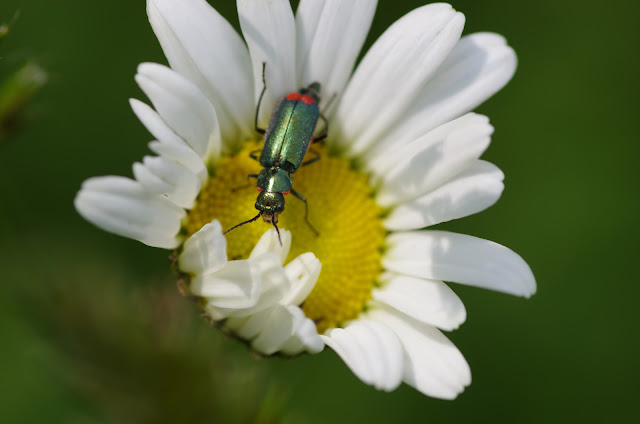 Malachiidae : Malachius bipustulatus L., 1758. Les Hautes-Lisières (Rouvres, 28), 22 mai 2012. Photo : J.-M. Gayman