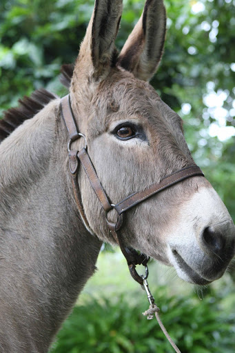A donkey. File picture