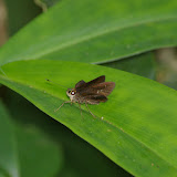 Hesperiidae. Itamambuca (Ubatuba, SP), 14 février 2011. Photo : J.-M. Gayman
