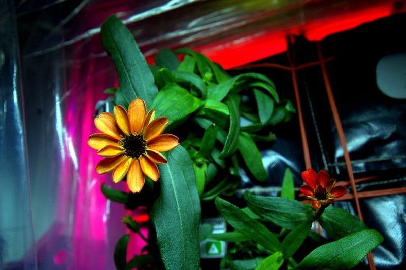 space-zinnia-blooms-1