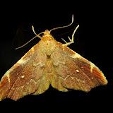 Noctuidae : Catocalinae : Axiocteta sp. ? Umina Beach (N. S. W., Australie), 22 novembre 2011. Photo : Barbara Kedzierski