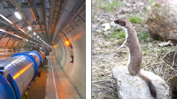 உலகின் மிகப் பெரிய துகள் முடுக்கி CERN இன் பவர் கேபிளை மரநாய் கடித்தது!:செயற்பாடு இடைநிறுத்தம்